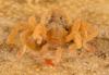http://mczbase.mcz.harvard.edu/specimen_images/invertebrates/large/143922_Cryptocellus_8.jpg