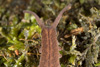 http://mczbase.mcz.harvard.edu/specimen_images/invertebrates/large/143924_Epiperipatus_trinidadensis_10.jpg