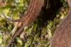 http://mczbase.mcz.harvard.edu/specimen_images/invertebrates/large/143924_Epiperipatus_trinidadensis_12.jpg