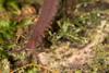 http://mczbase.mcz.harvard.edu/specimen_images/invertebrates/large/143925_Epiperipatus_trinidadensis_10.jpg