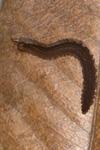 http://mczbase.mcz.harvard.edu/specimen_images/invertebrates/large/143926_Epiperipatus_trinidadensis_1.jpg