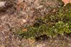 http://mczbase.mcz.harvard.edu/specimen_images/invertebrates/large/143937_Paecilaema_1.jpg