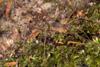 http://mczbase.mcz.harvard.edu/specimen_images/invertebrates/large/143937_Paecilaema_2.jpg