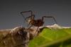 http://mczbase.mcz.harvard.edu/specimen_images/invertebrates/large/143938_Zalmoxidae_3.jpg