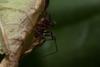 http://mczbase.mcz.harvard.edu/specimen_images/invertebrates/large/143938_Zalmoxidae_4.jpg