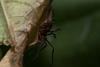 http://mczbase.mcz.harvard.edu/specimen_images/invertebrates/large/143938_Zalmoxidae_5.jpg