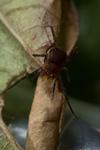http://mczbase.mcz.harvard.edu/specimen_images/invertebrates/large/143938_Zalmoxidae_6.jpg