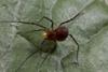http://mczbase.mcz.harvard.edu/specimen_images/invertebrates/large/143938_Zalmoxidae_8.jpg