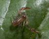 http://mczbase.mcz.harvard.edu/specimen_images/invertebrates/large/143944_Bochica_withi_11.jpg