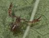 http://mczbase.mcz.harvard.edu/specimen_images/invertebrates/large/143944_Bochica_withi_4.jpg