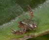 http://mczbase.mcz.harvard.edu/specimen_images/invertebrates/large/143944_Bochica_withi_7.jpg