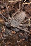 http://mczbase.mcz.harvard.edu/specimen_images/invertebrates/large/143945_Amblypygi_11.jpg