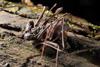 http://mczbase.mcz.harvard.edu/specimen_images/invertebrates/large/143945_Amblypygi_12.jpg