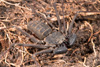 http://mczbase.mcz.harvard.edu/specimen_images/invertebrates/large/143945_Amblypygi_9.jpg