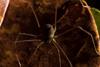 http://mczbase.mcz.harvard.edu/specimen_images/invertebrates/large/143948_Paecilaema_1.jpg