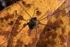 http://mczbase.mcz.harvard.edu/specimen_images/invertebrates/large/143948_Paecilaema_3.jpg