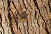 http://mczbase.mcz.harvard.edu/specimen_images/invertebrates/large/143949_Rhopalocranaus_albilineatus_2.jpg