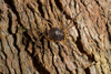 http://mczbase.mcz.harvard.edu/specimen_images/invertebrates/large/143949_Rhopalocranaus_albilineatus_3.jpg
