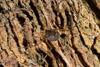 http://mczbase.mcz.harvard.edu/specimen_images/invertebrates/large/143949_Rhopalocranaus_albilineatus_5.jpg