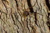 http://mczbase.mcz.harvard.edu/specimen_images/invertebrates/large/143950_Stygnoplus_clavotibialis_3.jpg