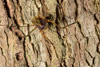 http://mczbase.mcz.harvard.edu/specimen_images/invertebrates/large/143950_Stygnoplus_clavotibialis_7.jpg