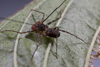 http://mczbase.mcz.harvard.edu/specimen_images/invertebrates/large/143951_Amblypygi_5.jpg