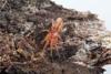 http://mczbase.mcz.harvard.edu/specimen_images/invertebrates/large/143963_Caponiidae_1.jpg