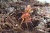 http://mczbase.mcz.harvard.edu/specimen_images/invertebrates/large/143963_Caponiidae_2.jpg
