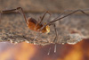 http://mczbase.mcz.harvard.edu/specimen_images/invertebrates/large/143967_Pellobunus_1.jpg