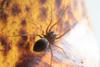 http://mczbase.mcz.harvard.edu/specimen_images/invertebrates/large/143969_Scytodidae_2.jpg