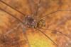 http://mczbase.mcz.harvard.edu/specimen_images/invertebrates/large/143995_Agoristenidae_3.jpg