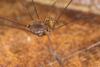 http://mczbase.mcz.harvard.edu/specimen_images/invertebrates/large/143995_Agoristenidae_5.jpg