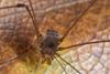 http://mczbase.mcz.harvard.edu/specimen_images/invertebrates/large/143995_Agoristenidae_7.jpg