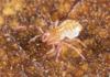 http://mczbase.mcz.harvard.edu/specimen_images/invertebrates/large/144011_Tridenchthonius_3.jpg