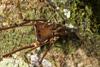 http://mczbase.mcz.harvard.edu/specimen_images/invertebrates/large/144012_Cranaidae_4.jpg