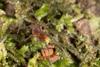 http://mczbase.mcz.harvard.edu/specimen_images/invertebrates/large/144013_Pellobunus_longipalpus_2.jpg