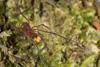 http://mczbase.mcz.harvard.edu/specimen_images/invertebrates/large/144013_Pellobunus_longipalpus_3.jpg