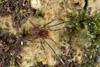 http://mczbase.mcz.harvard.edu/specimen_images/invertebrates/large/144013_Pellobunus_longipalpus_6.jpg