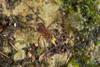 http://mczbase.mcz.harvard.edu/specimen_images/invertebrates/large/144013_Pellobunus_longipalpus_7.jpg