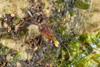 http://mczbase.mcz.harvard.edu/specimen_images/invertebrates/large/144013_Pellobunus_longipalpus_8.jpg