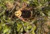 http://mczbase.mcz.harvard.edu/specimen_images/invertebrates/large/144015_Cranellus_montgomeryi_2.jpg