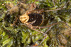 http://mczbase.mcz.harvard.edu/specimen_images/invertebrates/large/144015_Cranellus_montgomeryi_3.jpg