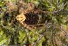 http://mczbase.mcz.harvard.edu/specimen_images/invertebrates/large/144015_Cranellus_montgomeryi_4.jpg