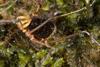http://mczbase.mcz.harvard.edu/specimen_images/invertebrates/large/144015_Cranellus_montgomeryi_6.jpg
