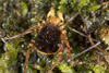 http://mczbase.mcz.harvard.edu/specimen_images/invertebrates/large/144015_Cranellus_montgomeryi_7.jpg
