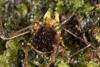 http://mczbase.mcz.harvard.edu/specimen_images/invertebrates/large/144015_Cranellus_montgomeryi_8.jpg