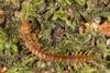 http://mczbase.mcz.harvard.edu/specimen_images/invertebrates/large/144016_Newportia_2.jpg
