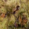 http://mczbase.mcz.harvard.edu/specimen_images/invertebrates/large/144026_Olpiidae_9.jpg