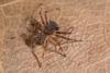 http://mczbase.mcz.harvard.edu/specimen_images/invertebrates/large/144027_Aphantochilus_3.jpg