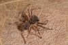 http://mczbase.mcz.harvard.edu/specimen_images/invertebrates/large/144027_Aphantochilus_4.jpg